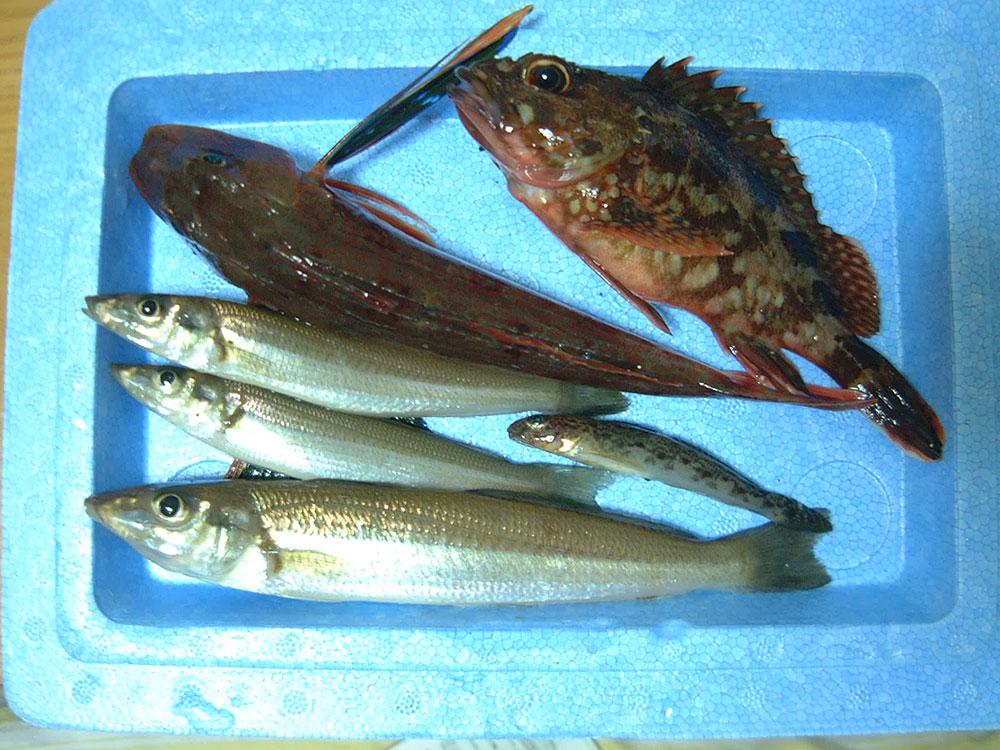 江ノ島ちょい投げの釣果 カサゴ、シロギス、ホウボウ