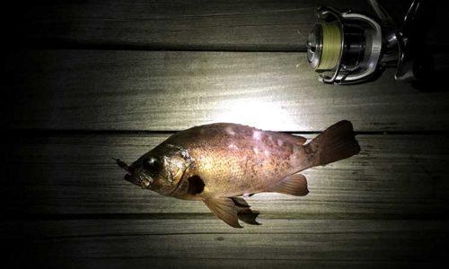 江ノ島堤防で釣れたメバル
