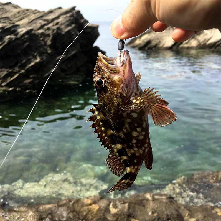佃嵐崎で釣れたカサゴ