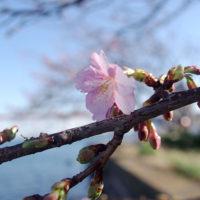 三崎港花暮岸壁の河津桜